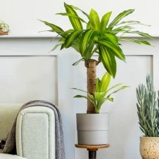 Dracaena artificiel 80 cm avec pot